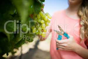 Mid section of woman cutting grapes through pruning shears at vineyard