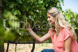 Smiling woman holding grapes growing at vineyard