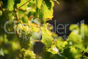 Close up of grapes growing on plant