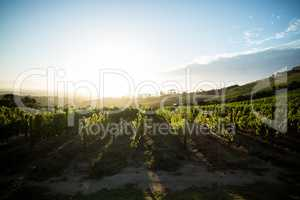 Scenic view of vineyard against sky
