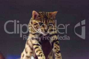 Bengal purebred cat with beautiful spots