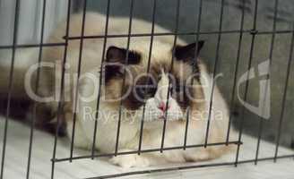 Birman purebred cat with beautiful markings