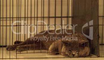 British shorthair purebred cat