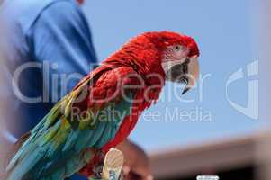 Green wing Macaw parrot bird Ara chloropterus