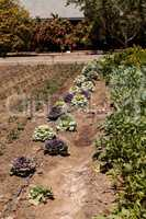 Flowering kale and ornamental cabbage grows on a small organic f