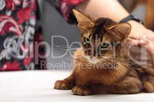 Red Somali purebred cat