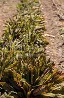 Sorrel spinach vegetable grows on a small organic farm