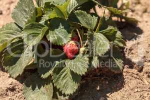Fresh red ripe strawberries grow in a garden on a small organic