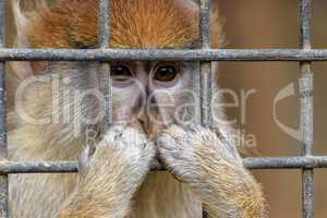 Affe in Gefangenschaft