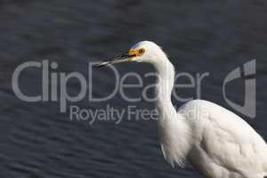 Snowy Egret (Egretta thula) foraging in the lake.