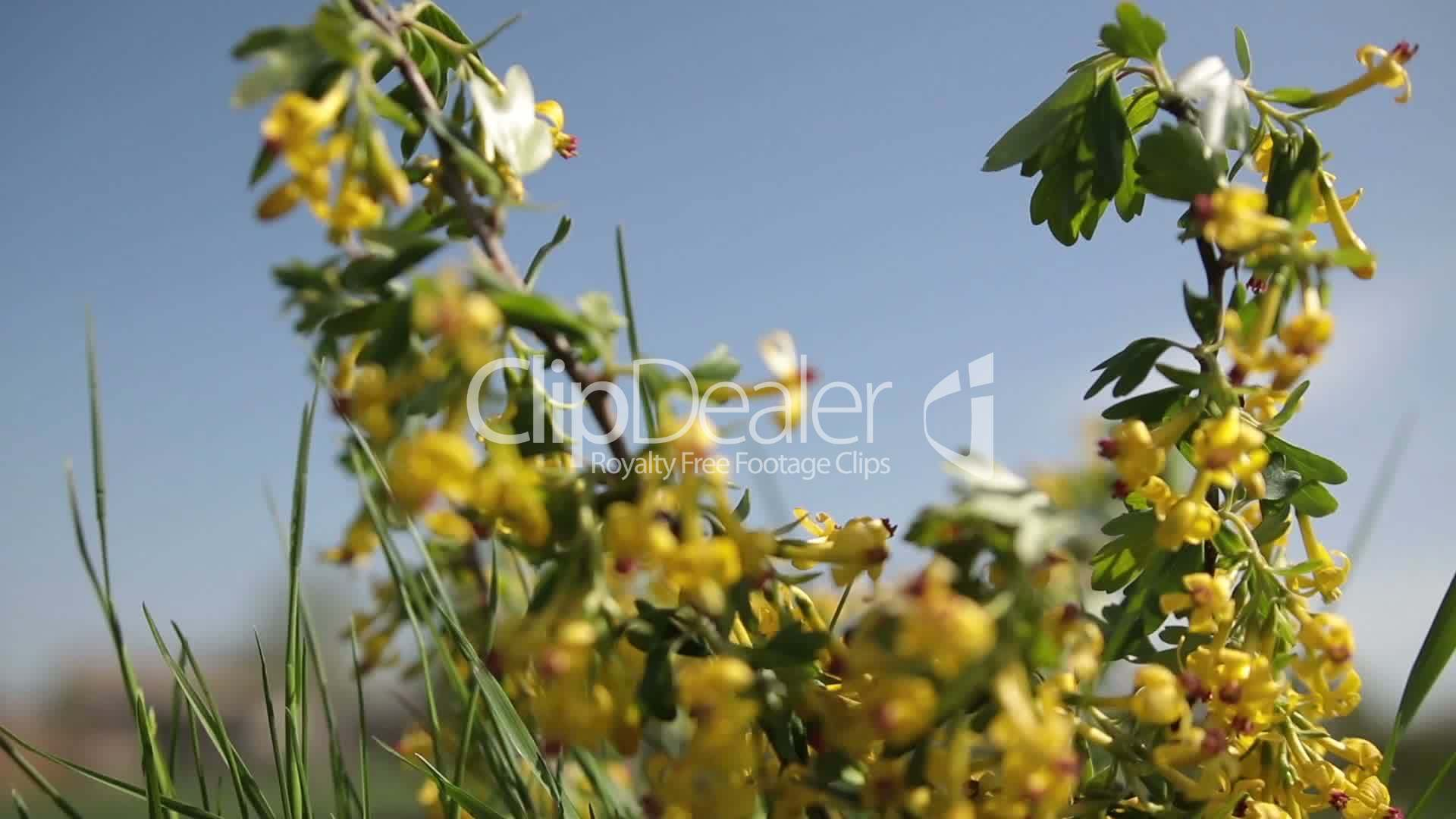 Golden Currant Blooming Bright Yellow Flowers Royalty Free Video
