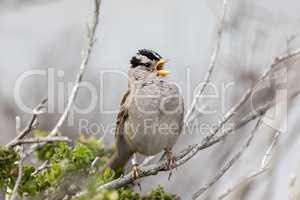 White-crowned Sparrow (Zonotrichia leucophrys) Adult  whistling.