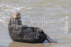 Alert Sea Otter in Moss Landing State Beach.