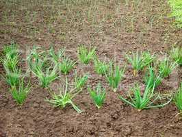 Onion rows in garden