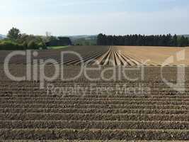 neu angelegtes Kartoffelfeld im Sauerland