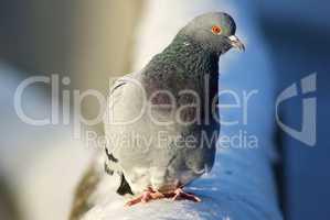 Pigeon on the snow