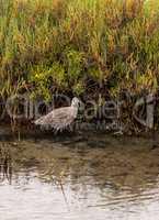 Marbled godwit shorebird, Limosa fedoa