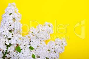 White lilac branch on a yellow surface