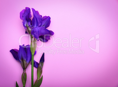 One blue iris on a pink surface