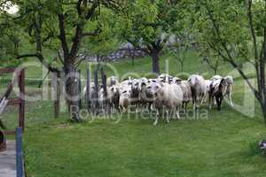 Pets / Sheep and goats graze in a pasture