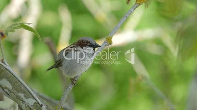 House Sparrow Sitting On A Branch,Chirping And Fly Away, Male