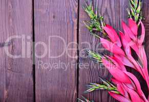 Pink flower of Billbergia on a brown wooden surface