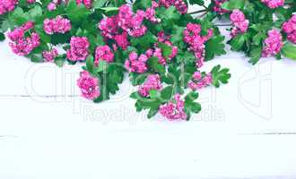 Branch of flowering hawthorn with pink flowers