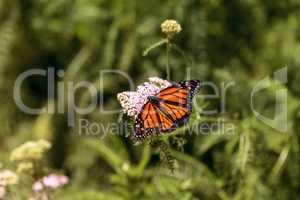 Monarch butterfly, Danaus plexippus, in a butterfly garden on a