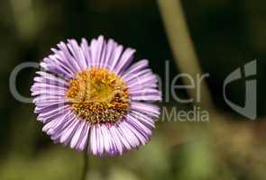Purple Fleabane Daisy Wildflower, Erigeron annuus