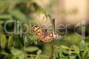 West coast lady butterfly, Vanessa annabella