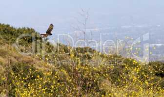 Swainsons hawk, Buteo swainsoni, flies over the wilderness canyo