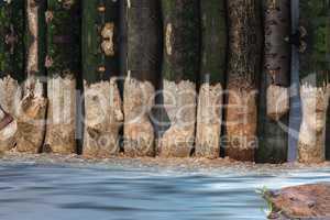 Vom Bieber angenagte Baumstämme.