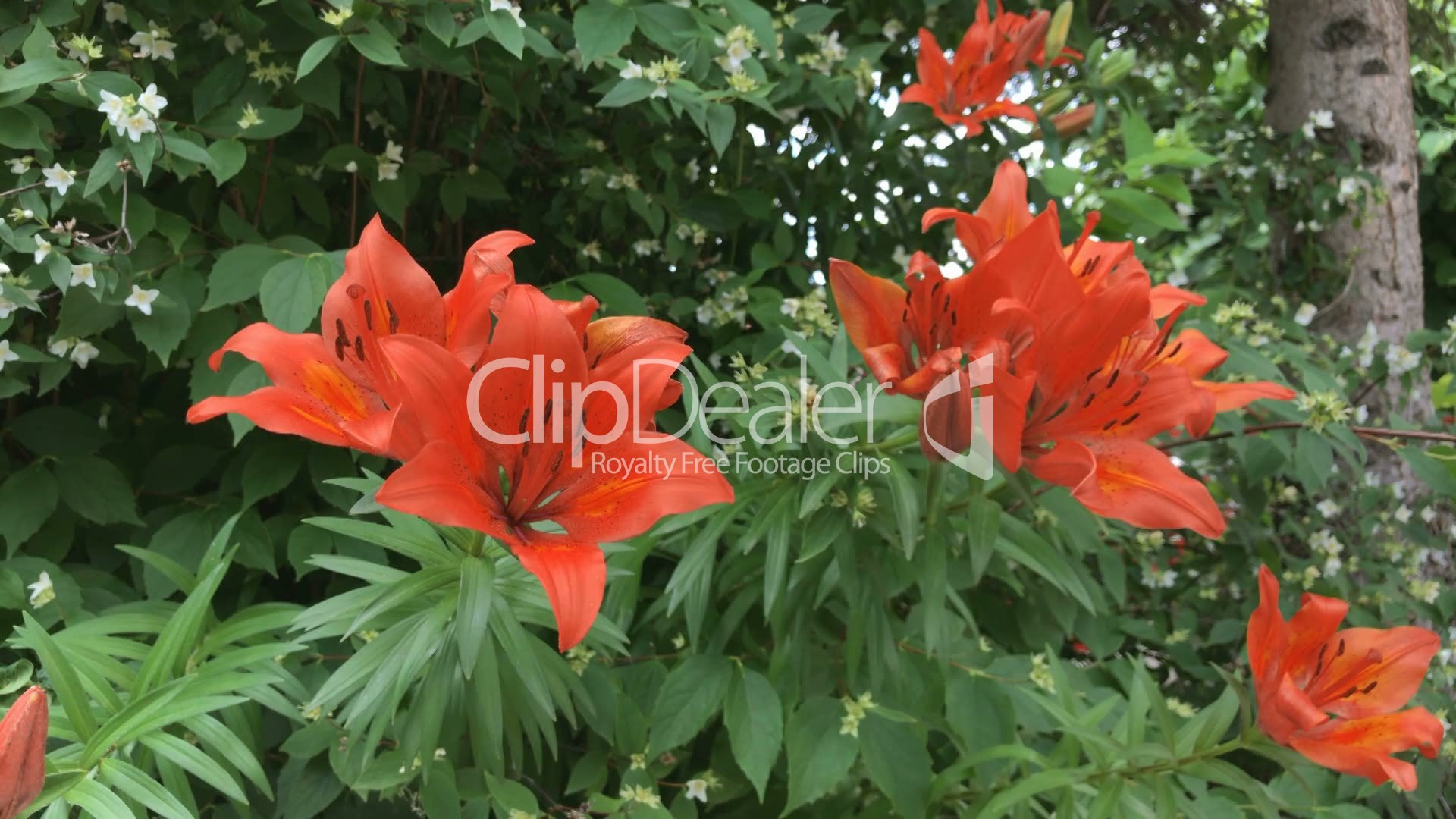 Tiger Lily Flowers Royalty Free Video And Stock Footage