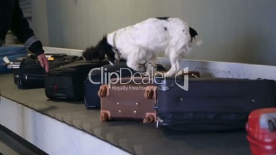 Border dog on a conveyor belt at the airport.