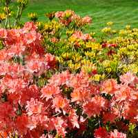 Bushes blooming rhododendron