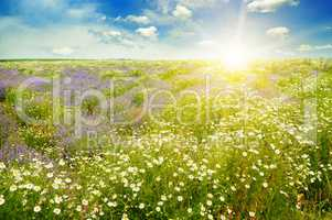 Field with daisies and sun on sky, focus on foreground