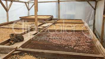 Trocknung von Kakao- und Kaffeebohnen, Plantage auf Sao Tome und Principe, Afrika