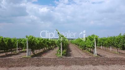 Summer Rows of Vineyards
