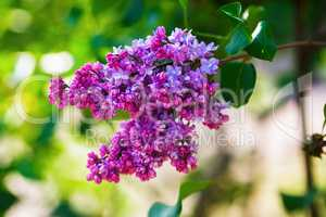 Blooming bright lilac