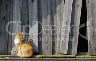 Cat and wooden fence