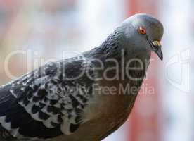 Beautiful urban pigeon