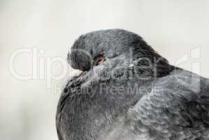 Closeup of pigeon head