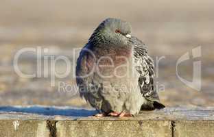 Pigeon on the sidewalk