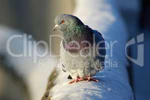 Pigeon and snow