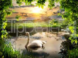 Swan in spring morning