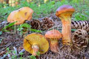 Larch Bolete mushrooms in natural habitat