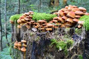 Group of Sheathed Woodtuft mushrooms, side view
