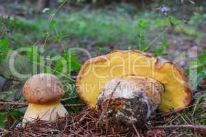 Pair of edible but rare Boletus