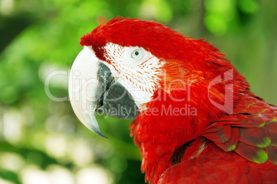 Red parrot or macaw