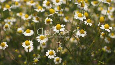Camomile flower sways blown by breeze on a sunny day